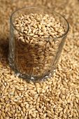 picture of malt  - Whiskey tumbler glass with malt grains on a layer of malt - JPG