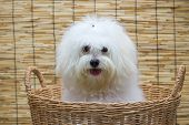 Shih Tzu Puppy Breed Tiny Dog In Basket With Japan Mat Backgroun
