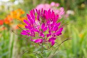 Pink Cleome Growing On Flower Bed
