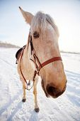 Saddled horse standing on snow in rural environment
