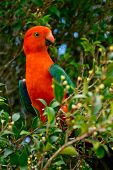 foto of king parrot  - detail of Australian King Parrot in the nature - JPG