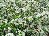Blooming Cherry Bush, Covered With Delicate White Flowers