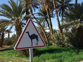 Camels prohibited