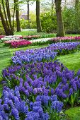 Blue and Purple Hyacinth Flowers at Spring Garden Keukenhof