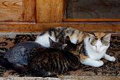 Cat nursing two kittens