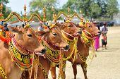 Decorated Bulls at Madura Bull Race, Indonesia