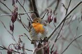 picture of robin bird  - A Beautiful Robin Bird Sitting in a Small Tree - JPG
