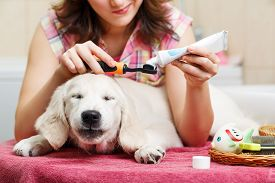 foto of animal teeth  - Girl owner is cleaning teeth of retriever puppy after shower - JPG