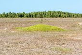 image of dry grass  - Small hill or mound with green fresh grass in the middle of an otherwise dry grass plain with forest in background - JPG