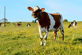 picture of cow  - One brown and white cow look into camera - JPG