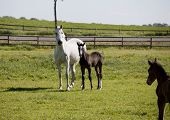 picture of foal  - a white Holstein mare with young foal in a pasture - JPG