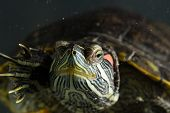 picture of green turtle  - Little green young turtle sitting in aquarium - JPG
