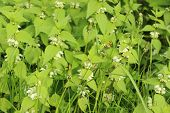 pic of nettle  - Closeup of medicinal herb nettle in natural habitat fresh green nettle with white flowers in sunny park - JPG