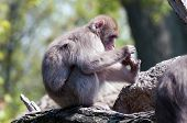 foto of macaque  - A Japanese macaque plays with its toes - JPG