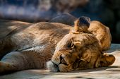 stock photo of lioness  - A detailed shot of a Lioness resting on the noon sun - JPG