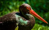 stock photo of stork  - A detailed shot of a Black Stork with big red beak - JPG