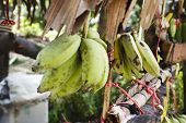 foto of bunch bananas  - Banana bunches on a market in asia - JPG