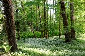 picture of ivy  - Ivied trees fern and white flowers in the forest - JPG