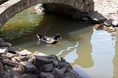 picture of duck  - Wild duck swim under bridge - JPG