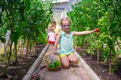 pic of root-crops  - Cute little girl collects crop cucumbers and tomatos in greenhouse - JPG