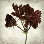 stock photo of geranium  - textured old paper background with dark red geranium - JPG