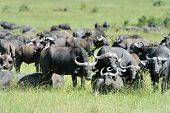 picture of cape buffalo  - Buffalo in the National Reserve of Africa Kenya - JPG