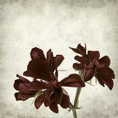 image of geranium  - textured old paper background with dark red geranium - JPG