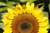 picture of glorious  - A sunflower displays its glorious colour in the sunlight - JPG