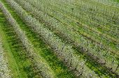 image of apple orchard  - Aerial view on the large blooming apple orchard - JPG