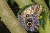 pic of mimicry  - Giant Owls butterfly perched on a branch - JPG