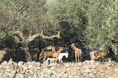 picture of tame  - Tame goats among the olive trees. Sun light ** Note: Shallow depth of field - JPG