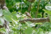 picture of nightingale  - A nightingale is perched on a branch in the wood close to the Dnieper river in Kiev the capital of Ukraine - JPG