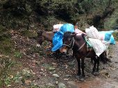 stock photo of mule  - the mules are carrying stuffs for trekking in Nepal - JPG