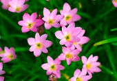 picture of lily  - Beautiful Zephyranthes Lily Rain Lily Fairy Lily Little Witches in the garden - JPG