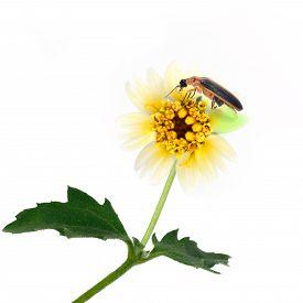 stock photo of lightning bugs  - Firefly perching over flower isolate on white background - JPG