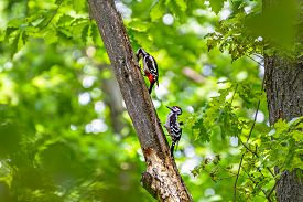 stock photo of woodpecker  - Two woodpecker extract insects of dry wood - JPG