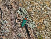 Escarabajo de Capricornio (Cerambycidae)