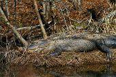 Female Alligator