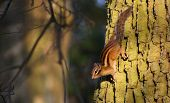Squirrel Climbing Down A Tree