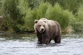 Braunbär stehen in brooks Fluss alaska