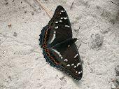 Dark Brown Butterfly