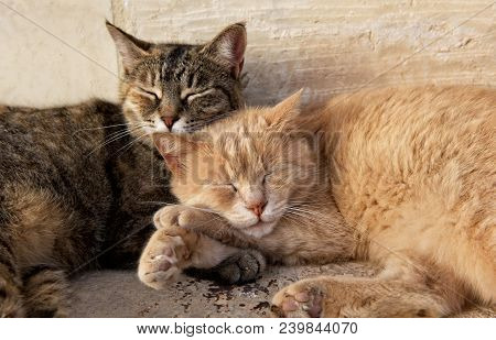 poster of Wo Cats, Brown And Yellow, Sleeping Near Each Together On Sunny Day. Valletta, Malta, Barraka Garden