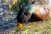 A Mallard Drake In Moult Dabbling In Water For Food poster