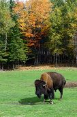 A Colorful Fall Day And A Buffalo