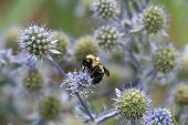 Bumble Bee On Eryngium
