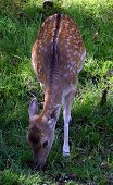 A Fallow Deer Is Feeding On Grass Within An Open Field In Quebec, Canada