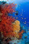Diver photographing soft corals underwater.