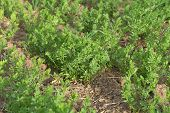 Immature Lentil Plant In The Field, Lentil Fields, Spring Months Of Lentil Fields Of Views, poster