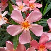 Single Pink Oleander