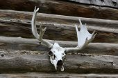 foto of shiting  - Elk antlers mounted against a log cabin outside wall - JPG